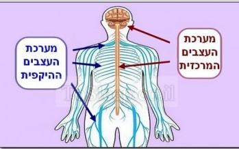 מבט על מערכת העצבים