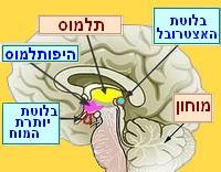 מוח אנדוקריני